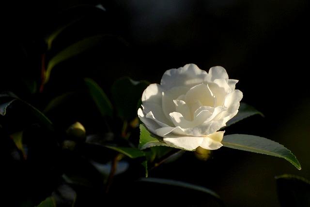 サザンカ(白)2