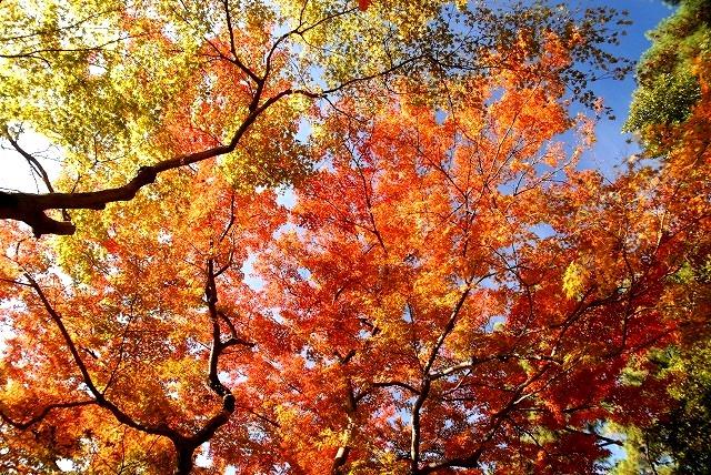 後楽園の紅葉3-3