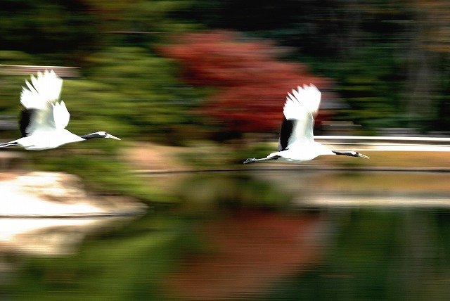 丹頂の放鳥15