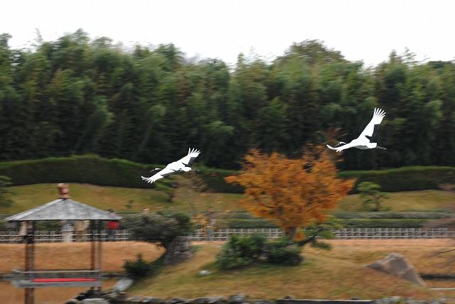 丹頂の放鳥16