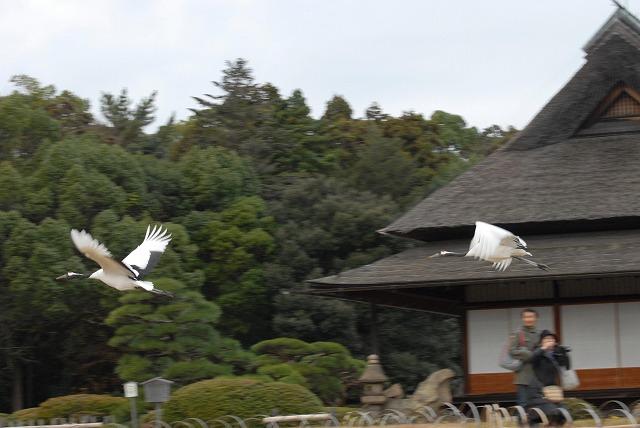 丹頂の放鳥22