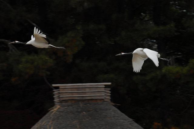丹頂の放鳥23