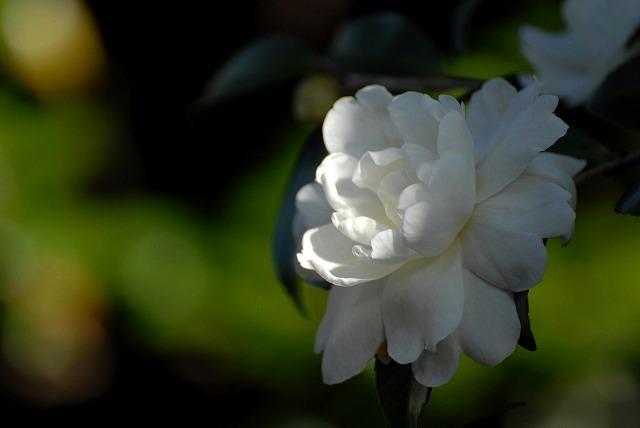 白いサザンカ1