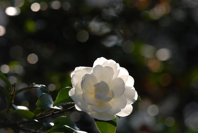 白いサザンカ5