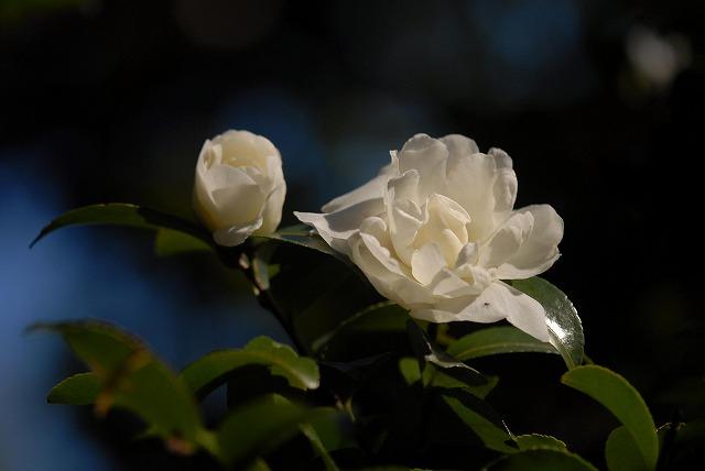 白いサザンカ7