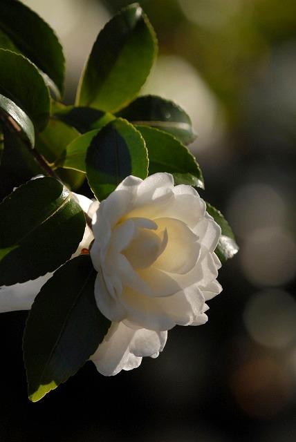 白いサザンカ8