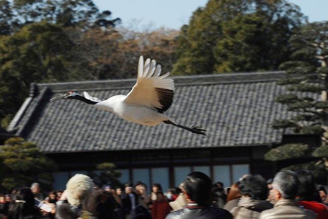 丹頂の放鳥1