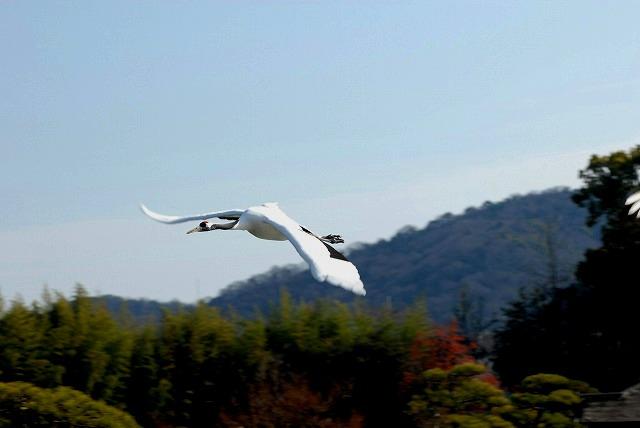 丹頂の放鳥9