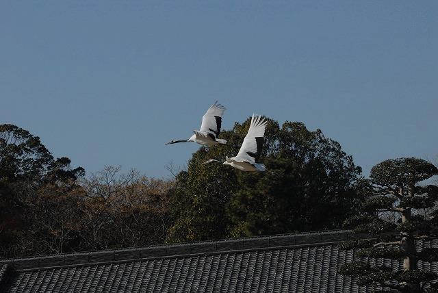 丹頂の放鳥10