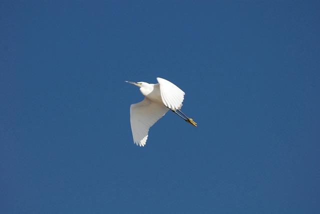 サギの飛翔1