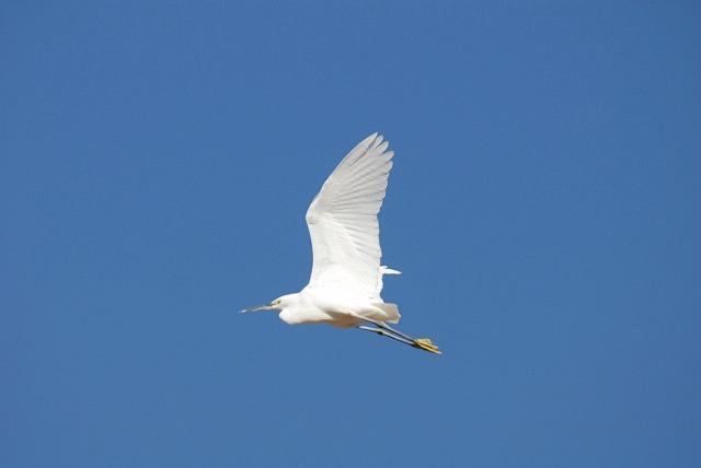 サギの飛翔2