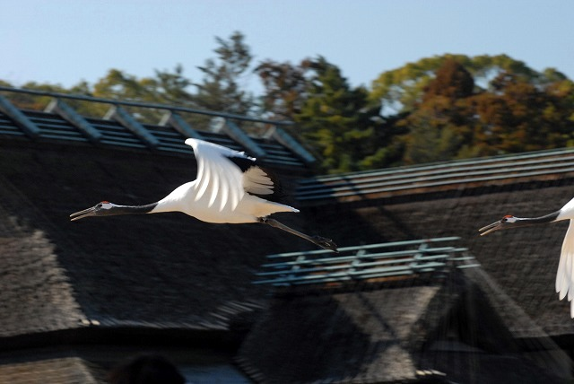 丹頂の放鳥14