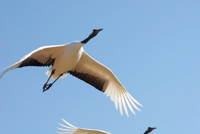 丹頂の放鳥21