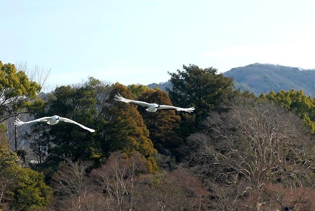 丹頂の放鳥30