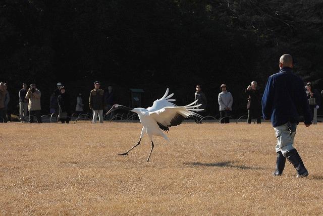 丹頂の放鳥33