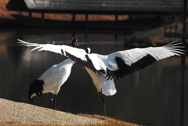 丹頂の放鳥42