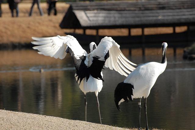 丹頂の放鳥43