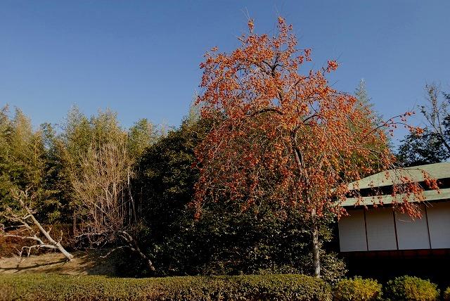 千入の森近くの柿の木