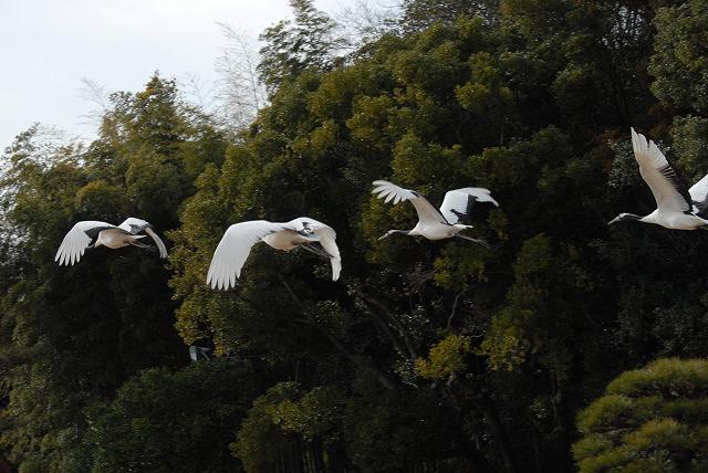 丹頂の放鳥4