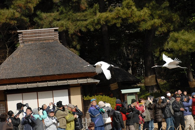 丹頂の放鳥17