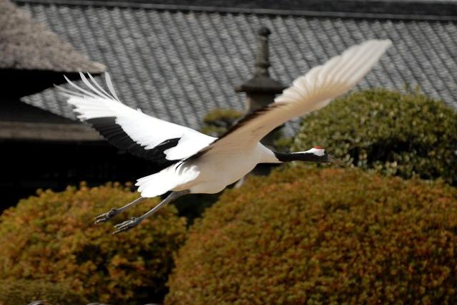 丹頂の放鳥19