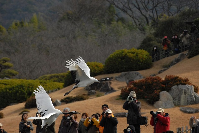 丹頂の放鳥25