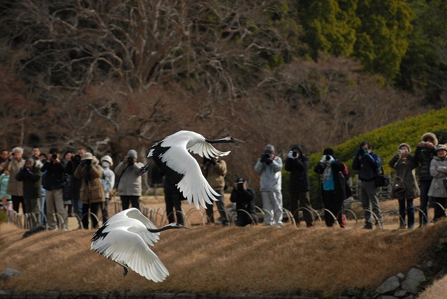 丹頂の放鳥24