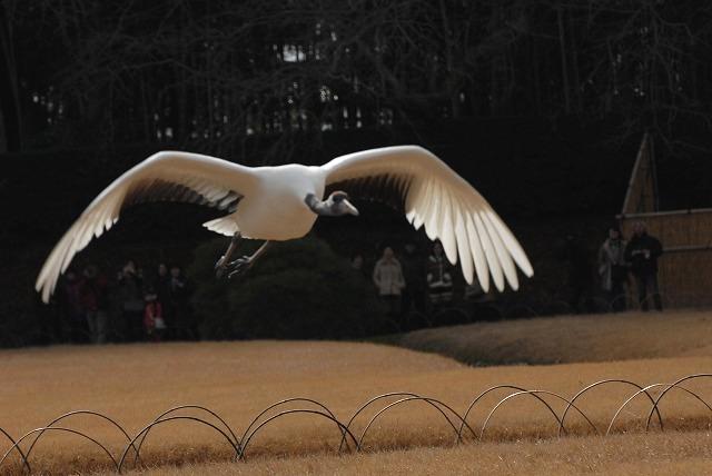 丹頂の放鳥28