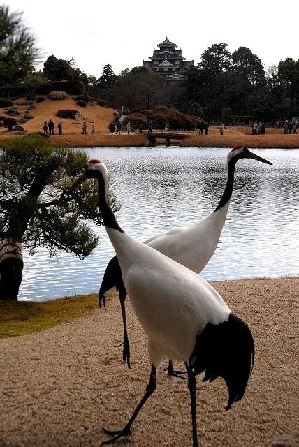 丹頂の放鳥31