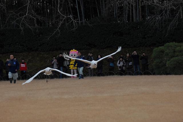 丹頂の放鳥35