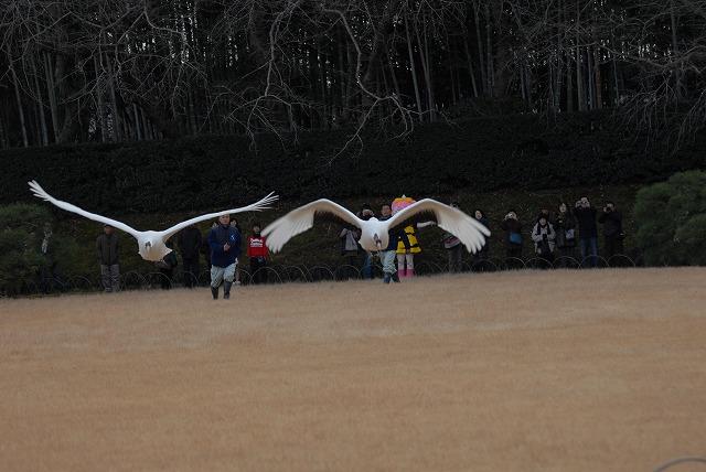 丹頂の放鳥36
