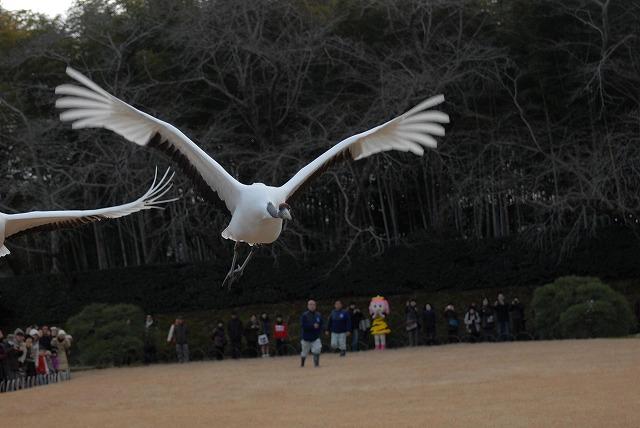 丹頂の放鳥37