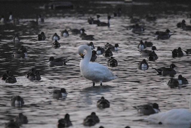 水鳥公園の白鳥3