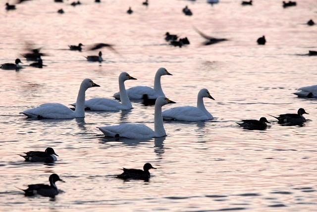 水鳥公園の白鳥5