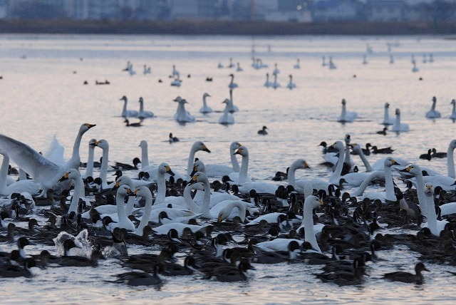 水鳥公園の白鳥6