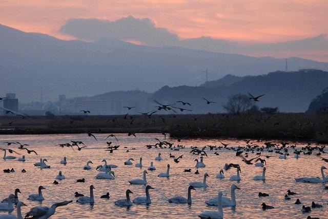 水鳥公園の白鳥7