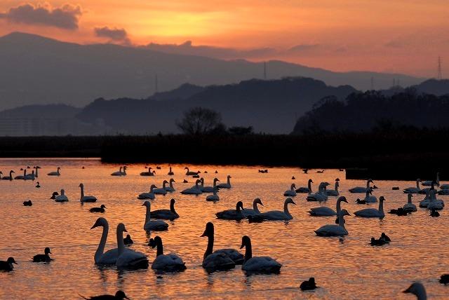 水鳥公園の白鳥8