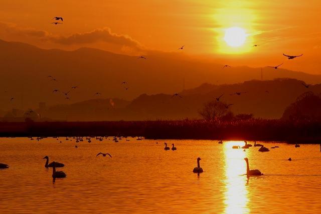 水鳥公園の白鳥11