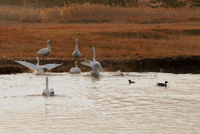 水鳥公園の白鳥12