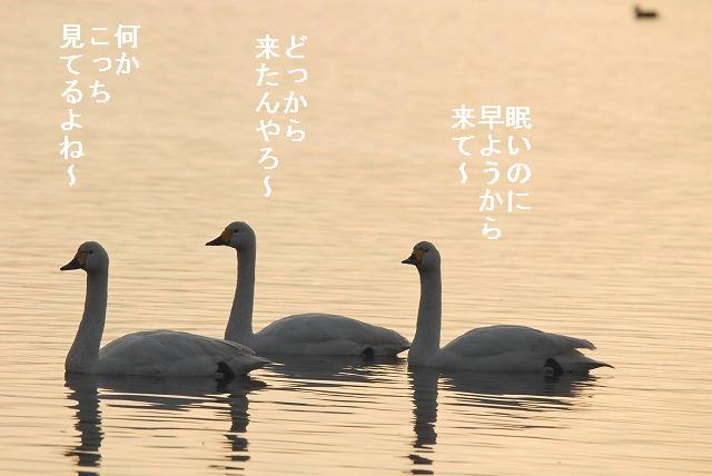 水鳥公園の白鳥13