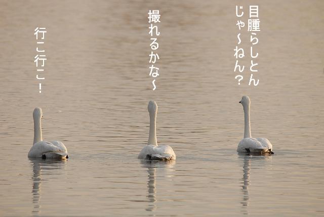 水鳥公園の白鳥 14