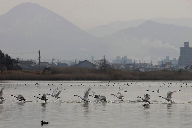 水鳥公園の白鳥16