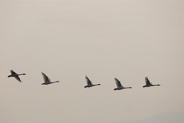水鳥公園の白鳥17