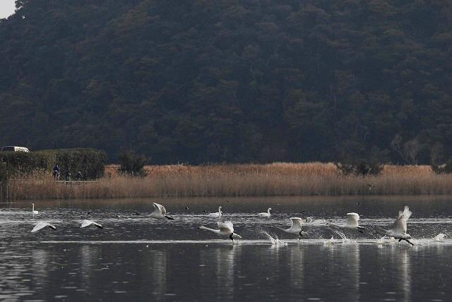 水鳥公園の白鳥18