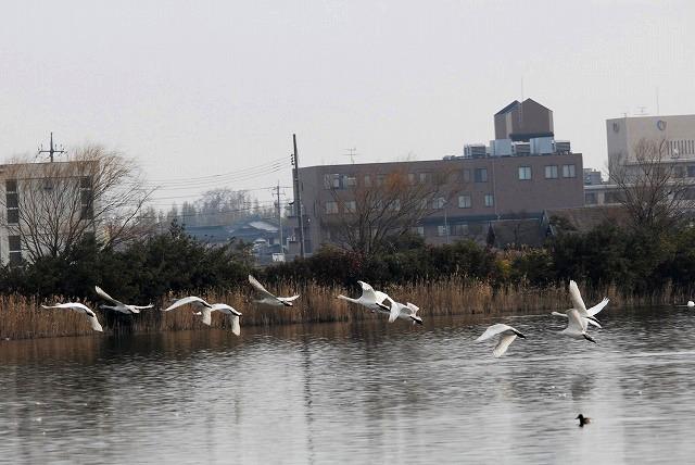 水鳥公園の白鳥19