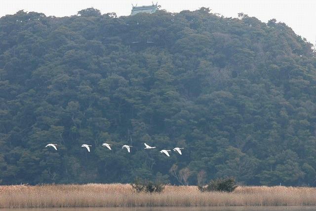 水鳥公園の白鳥20