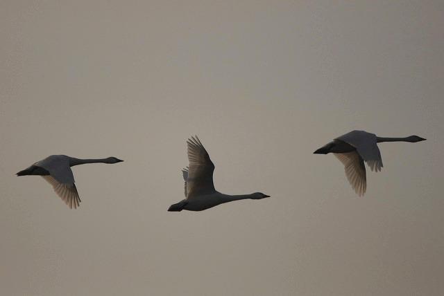水鳥公園の白鳥21