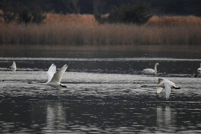 水鳥公園の白鳥22