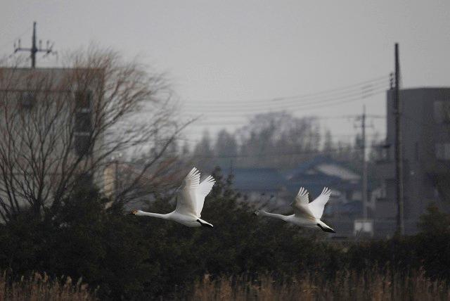水鳥公園の白鳥23