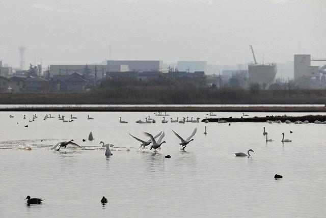 水鳥公園の白鳥25